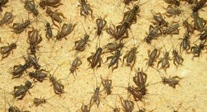 Brown crickets are an excellent live food for the Bearded Dragon diet.