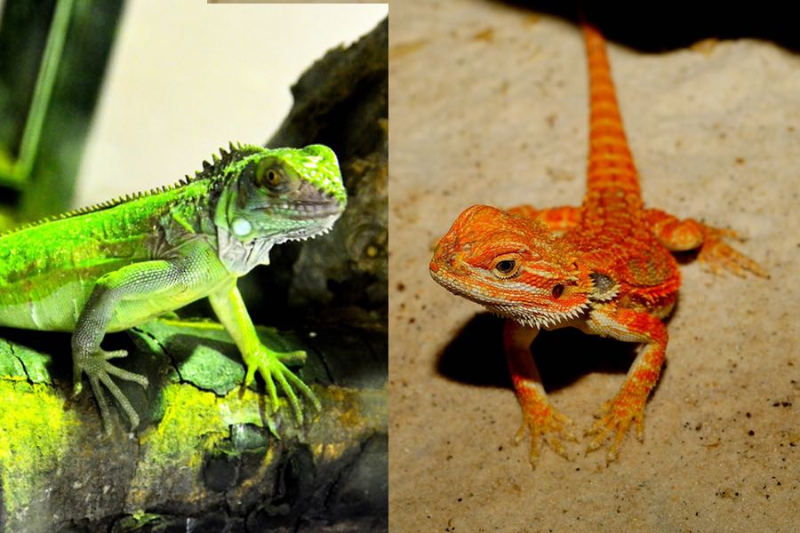 Bearded dragons come from the same family of iguanas.